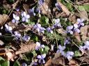 violettes1.jpg
