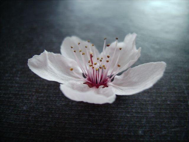 fleurdeprunus.jpg