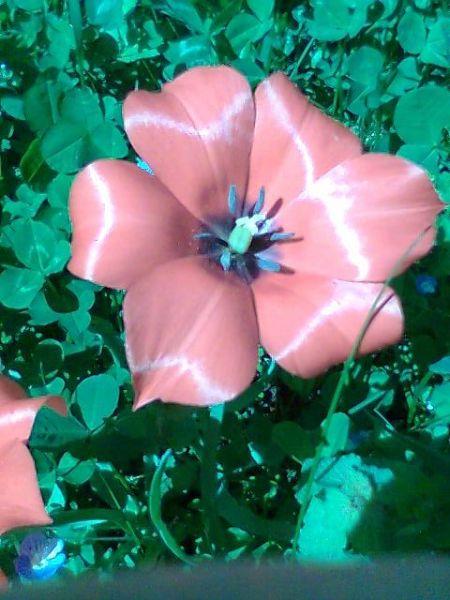 tuliperouge.jpg