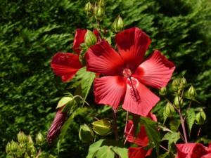 hibiscus-300x225